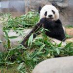 Большая панда. Как было обнаружено это удивительное животное?